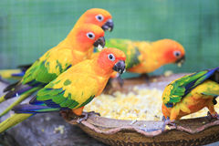 Colorful parrots eating seeds and corn. Royalty Free Stock Photos