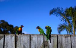 Colorful parrots on fence and blue sky. Three colorful parrots on wooden fence against blue sky background royalty free stock photography