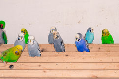 Colorful parrots Stock Image