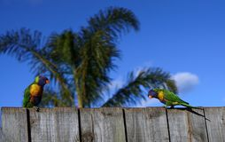 Colorful parrots with palm tree and blue sky background. Two colorful parrots with palm tree and blue sky background royalty free stock photography