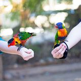 Pet Parrot Birds on Arms of Children. Colorful parrots perched on the arms of two children Royalty Free Stock Photo