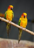 Colorful parrots sitting on log Royalty Free Stock Photo