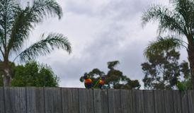 Colorful parrots standing on wooden fence. On cloudy day stock image