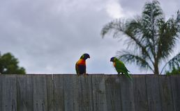 Colorful parrots standing on wooden fence. On cloudy day stock photography