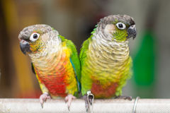 Colorful parrots. Two Colorful parrots in the birds market stock photos