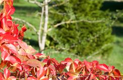 A colorful parthenocissus in autumn on green background. Space for text Royalty Free Stock Photography