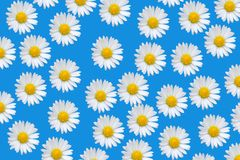 Colorful pattern with daisy flowers Stock Images