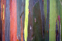 Colorful pattern of rainbow eucalyptus tree bark Stock Image