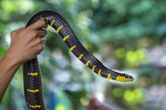 Colorful patterns and body of the Gold-ringed cat snake. stock photo