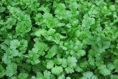 Colorful patterns of coriander leaves. Colorful patterns of coriander leaves for food stock photo
