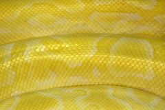 patterns and skin of Gold Reticulated Python or Boa. stock photo