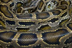 Patterns and skin of python. Colorful patterns and skin of python royalty free stock photos