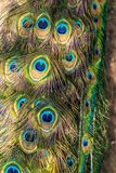 Colorful patterns of thousands of beautiful birds. Exotic birds. Vertical image. Colorful feathers pattern. Peacock tail. Colorful patterns of thousands of royalty free stock image