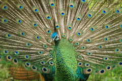 Colorful peacock. Colourfull peacock is rare wild animal Royalty Free Stock Image
