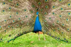 Colorful peacock Royalty Free Stock Photos