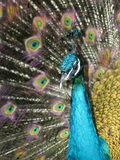 Colorful Peacock. A stunning male peacock in full color Royalty Free Stock Image