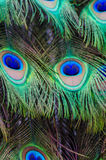 Colorful Peacock background. Close up of a male peacock displaying its stunning tail feathers Stock Photography