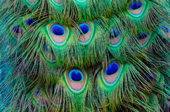 Colorful Peacock background. Close up of a male peacock displaying its stunning tail feathers Stock Images