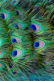 Colorful Peacock background Stock Images