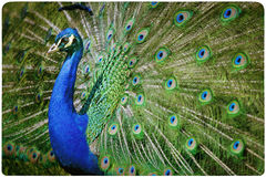 Colorful peacock background Royalty Free Stock Photo