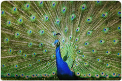 Colorful peacock background Stock Image