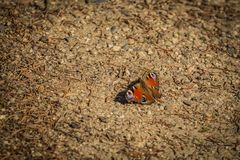 Colorful peacock butterfly sitting on ground. Colorful peacock butterfly with its red, violet, black and purple wings open sitting on a brown ground, copy space stock images