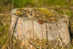 Colorful peacock butterfly sitting on tree stomp. Colorful peacock butterfly sitting on a tree stomp covered with moss, its red, violet, black and yellow wings stock image
