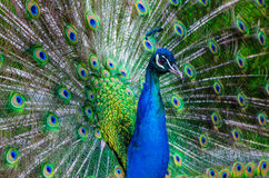 Colorful Peacock. Close up of a male peacock displaying its stunning tail feathers Stock Photo
