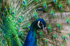 Colorful Peacock. Close up of a male peacock displaying its stunning tail feathers Royalty Free Stock Photography