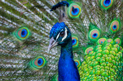 Colorful Peacock. Close up of a male peacock displaying its stunning tail feathers Royalty Free Stock Images