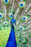 Colorful Peacock. Close up of a male peacock displaying its stunning tail feathers Stock Image