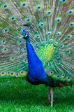 Colorful Peacock Stock Photo