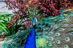 Colorful Peacock. Close up of a male peacock displaying its stunning tail feathers Stock Images