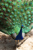 A colorful peacock Stock Photos