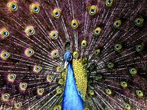 A peacock proudly lifts its feathers royalty free stock photography