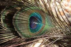 Colorful Peacock Feather. Beautiful close up colored Eye of the Peacock Feather Stock Photos