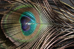 Colorful Peacock Feather. Beautiful close up colored Eye of the Peacock Feather Royalty Free Stock Photography