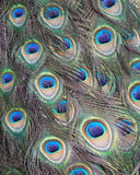 Colorful Peacock feather close up Stock Image