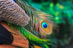 Colorful peacock feather. Stock Photos