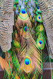 Colorful peacock feather. Stock Image