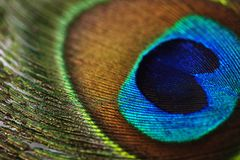 Colorful peacock feather, close up Royalty Free Stock Photo