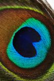 Colorful peacock feather, close up Stock Photo