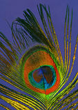 Colorful peacock feather Stock Images