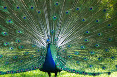 Colorful peacock with feather tail open Royalty Free Stock Photos