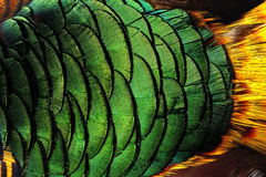 Colorful peacock feathers background. Abstract background bird feather animals stock images