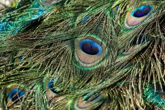 Colorful Peacock feathers royalty free stock photos