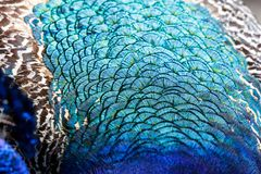 Colorful Peacock feathers. For background close up shot royalty free stock photo
