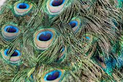 Colorful Peacock feathers royalty free stock photography