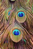 Colorful peacock feathers background Royalty Free Stock Images