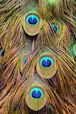 Colorful peacock feathers background. Colorful feathers of tail peacock as unusual background stock image
